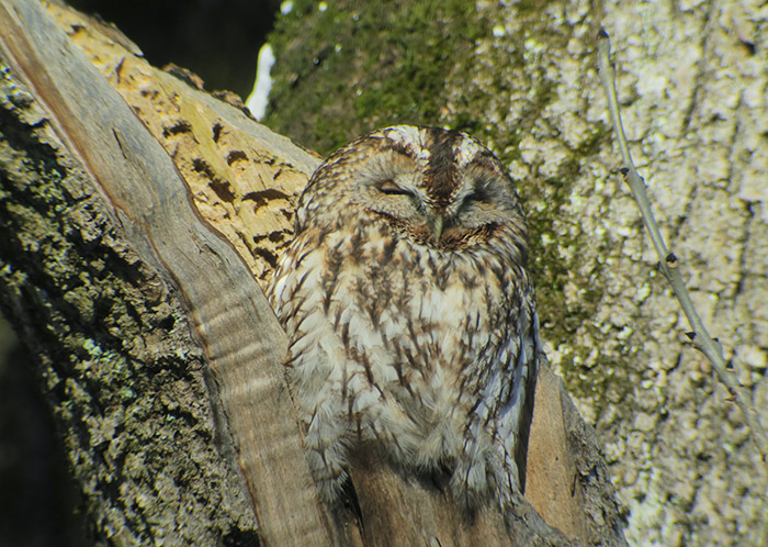 12_waldkauz_tawny-owl_nymphenburger_2017-12-29_3478