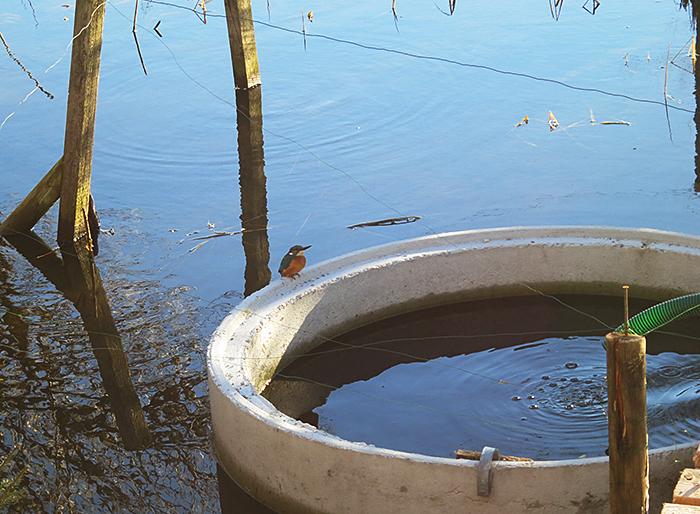 08_eisvogel_common-kingfisher_moosmuehle_benediktbeuern_2018-01-06_3610