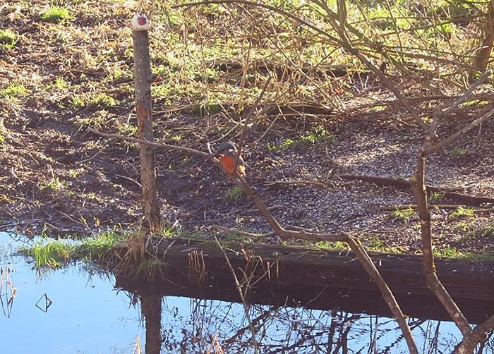 09_eisvogel_common-kingfisher_moosmuehle_benediktbeuern_2018-01-06_3612