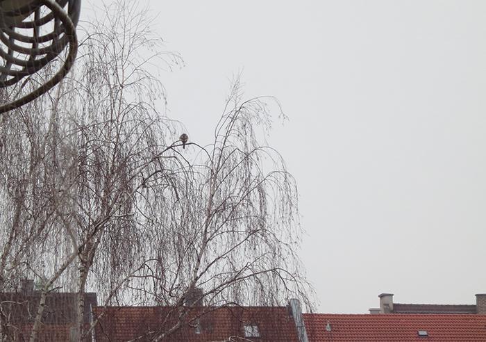 0_sperber_eurasian-sparrowhawk_muenchen_2018-01-07_3688