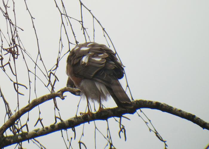 sperber_eurasian-sparrowhawk_muenchen_2018-01-07_3658