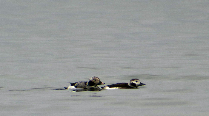 03_eisente_long-tailed-duck_starnberger_2018-01-28_0571