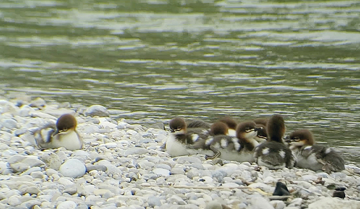 04_gaensesaeger_common-merganser_isar_2018-05-19