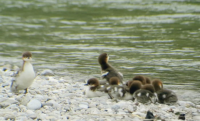 05_gaensesaeger_common-merganser_isar_2018-05-19
