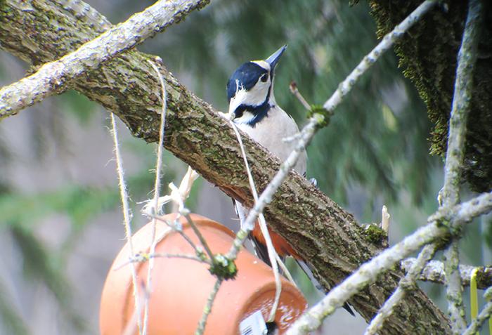 06_buntspecht_great-spotted-woodpecker_engl-garten_muenchen_2018-03-31_1730