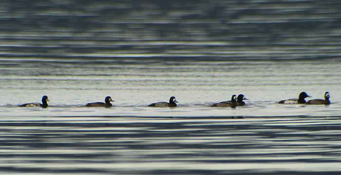 09_bergente_greater-scaup_starnberger_2018-01-18_0713