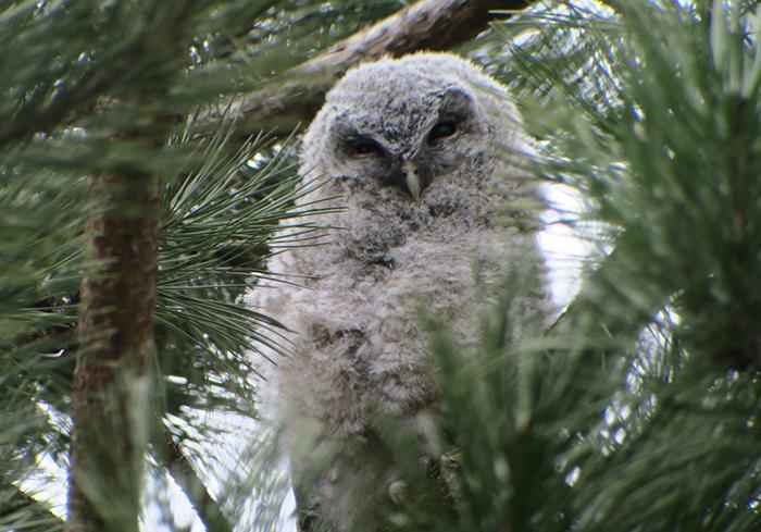 09_waldkauz_tawny-owl_engl-garten_muenchen_2018-03-31_1776