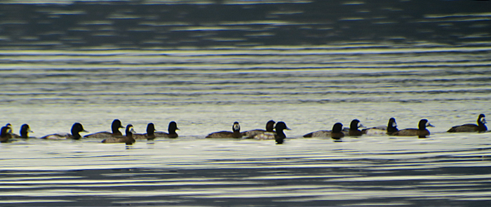 10_bergente_greater-scaup_starnberger_2018-01-18_0715