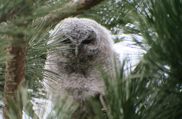 10_waldkauz_tawny-owl_engl-garten_muenchen_2018-03-31_1780