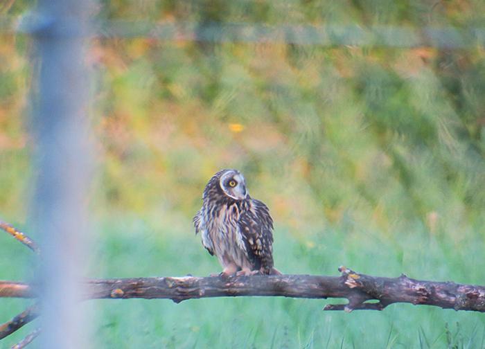 11_sumpfohreule_short-eared-owl_unterhaching_2018-04-28_3139