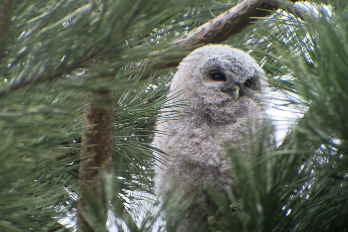 11_waldkauz_tawny-owl_engl-garten_muenchen_2018-03-31_1785