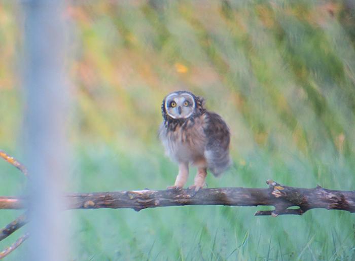 12_sumpfohreule_short-eared-owl_unterhaching_2018-04-28_3141