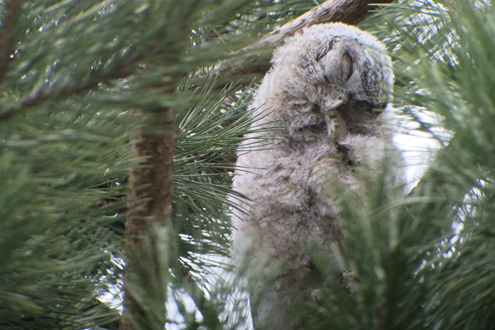12_waldkauz_tawny-owl_engl-garten_muenchen_2018-03-31_1786