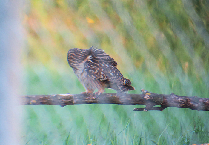 13_sumpfohreule_short-eared-owl_unterhaching_2018-04-28_3142
