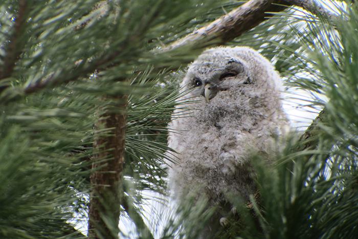13_waldkauz_tawny-owl_engl-garten_muenchen_2018-03-31_1788