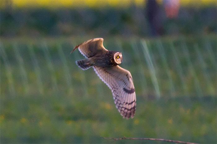 14_sumpfohreule_short-eared-owl_unterhaching_2018-04-28_m-daehne