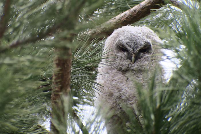 14_waldkauz_tawny-owl_engl-garten_muenchen_2018-03-31_1795