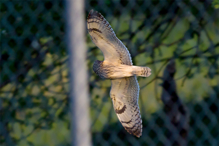 15_sumpfohreule_short-eared-owl_unterhaching_2018-04-28_m-daehne