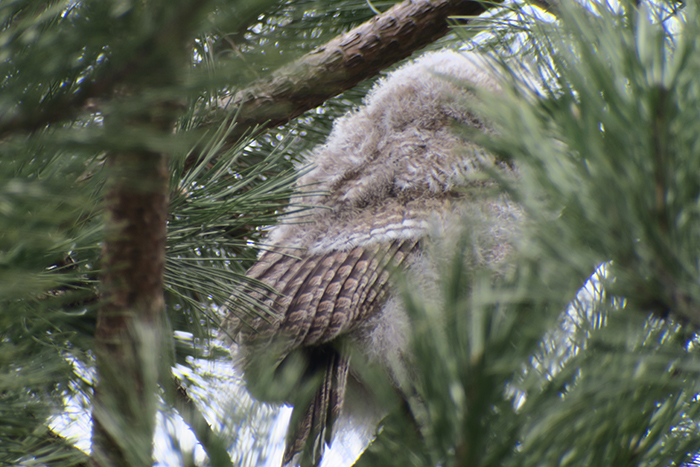 15_waldkauz_tawny-owl_engl-garten_muenchen_2018-03-31_1800