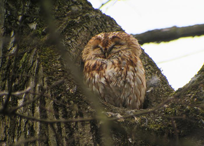 17_waldkauz_adult_tawny-owl_engl-garten_muenchen_2018-03-31_1824