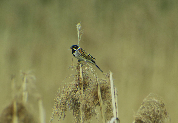 02_rohrammer_common-reed-bunting_isarmuendung_2018-05-05_hofbauer_3645