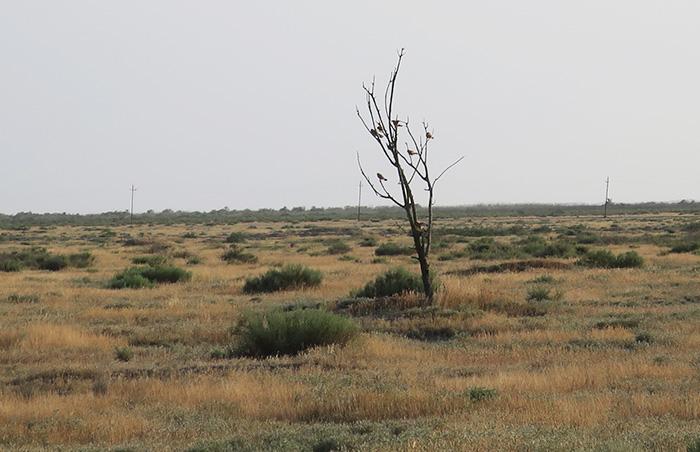 09_roetelfalke_lesser-kestrel_shirvan_national-park_aserbaidschan_2018-06-01_6946