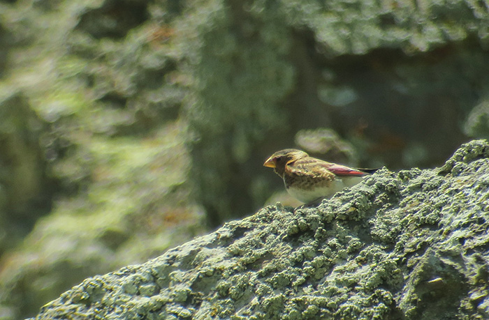11_rotfluegelgimpel_sanguineus_crimson-winged-finch_bataba_nachtschiwan_2018-06-06_8669