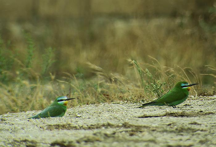 14_blauwangenspint_blue-cheeked-bee-eater_gizil-agach_nationalpark_aserbaidschan_2018-06-02_7336