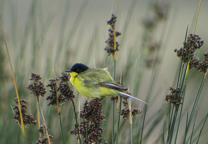 15_maskenschafstelze_western-yellow-wagtail-feldegg_gizil-agach_nationalpark_aserbaidschan_2018-06-02_7489