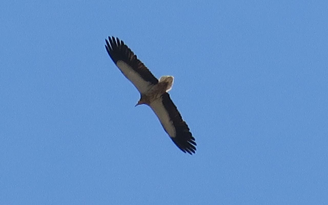 26_schmutzgeier_egyptian-vulture_nachtschiwan_aserbaidschan_2018-06-08_0173