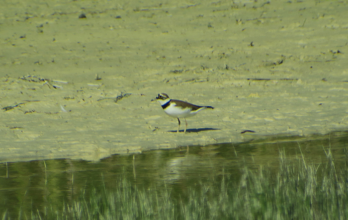 14_flussregenpfeifer_little-ringed-plover_kieswerk_landsham_2018-05-12_4497
