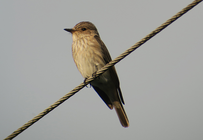 19_grauschnaepper_spotted-flycatcher_moosgrund_2018-05-12_4574