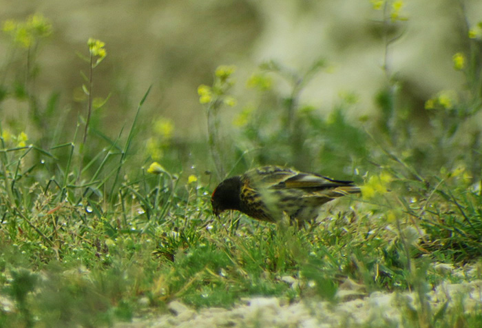 08_rotstirngirlitz_red-fronted-serin_shahdagh_aserbaidschan_2018-05-30_6020