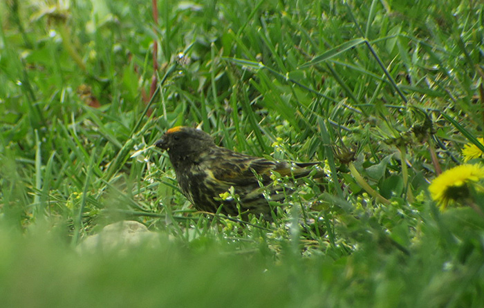 09_rotstirngirlitz_red-fronted-serin_shahdagh_aserbaidschan_2018-05-30_6070