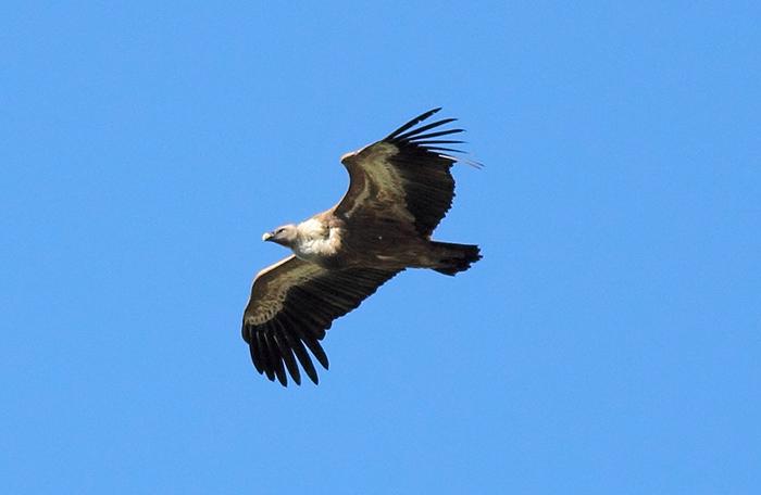17_gaensegeier_griffon-vulture_quizilqaya_2018_05_31_markus-daehne
