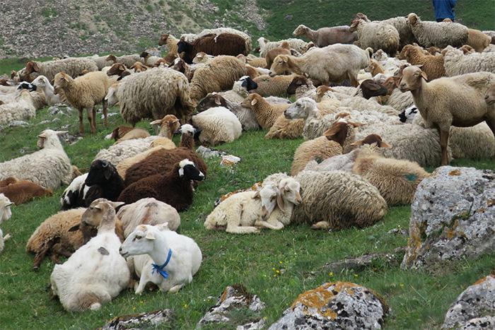 20_schafe_shahdagh_nationalpark_aserbaidschan_2018-05-29_5853