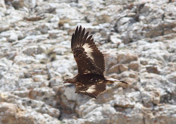 21_steinadler_golden-eagle_2018_05_31_8-markus-daehne