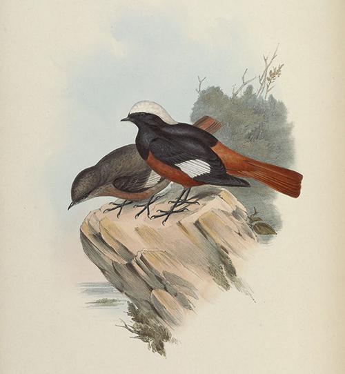 23a_phoenicus-erythrogastrus_BirdsAsiaJohnGoIVGoul_0152