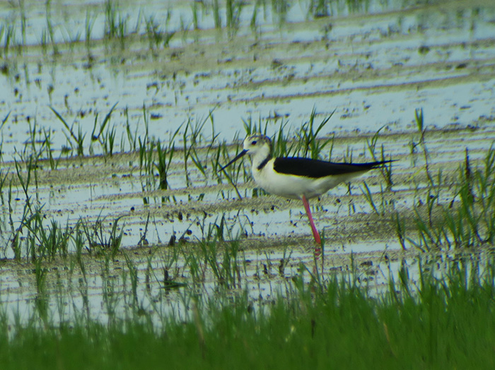 15_stelzenlaeufer_black-winged-stilt_gyzylagach_aserbaidschan_2018-06-02_7268