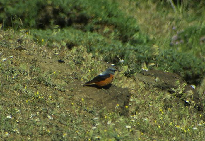 22_Steinroetel_Rufous-tailed_Rock-Trrush_Talysch-Gebirge_Aserbaidschan_2018-06-03_7893