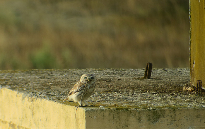 30_steinkauz_little-owl_shirvan_national-park_aserbaidschan_2018-06-01_6980