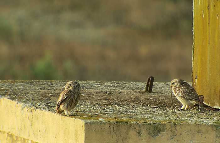 31_steinkauz_little-owl_shirvan_national-park_aserbaidschan_2018-06-01_6986