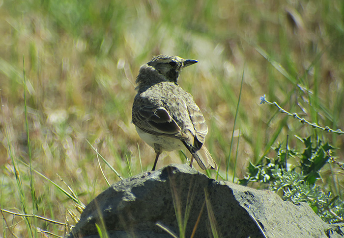 12_Ohrenlerche_penicillata_horned-lark_Talisch-Gebirge_Aserbaidschan_2018-06-04_8039