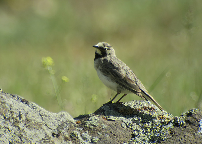 13_Ohrenlerche_penicillata_horned-lark_Talisch-Gebirge_Aserbaidschan_2018-06-04_8046