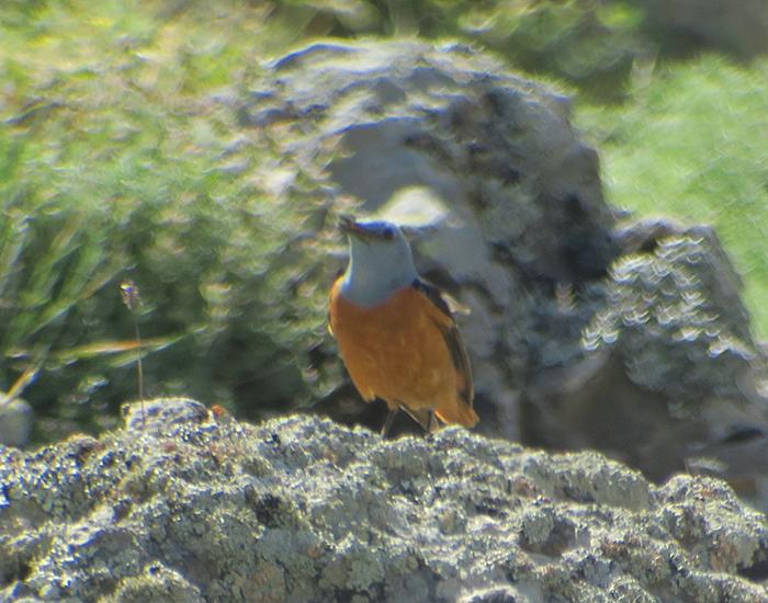 17a_steinroetel_rufous-tailed-rock-thrush_talysch-gebirge_2018_06_04_8103