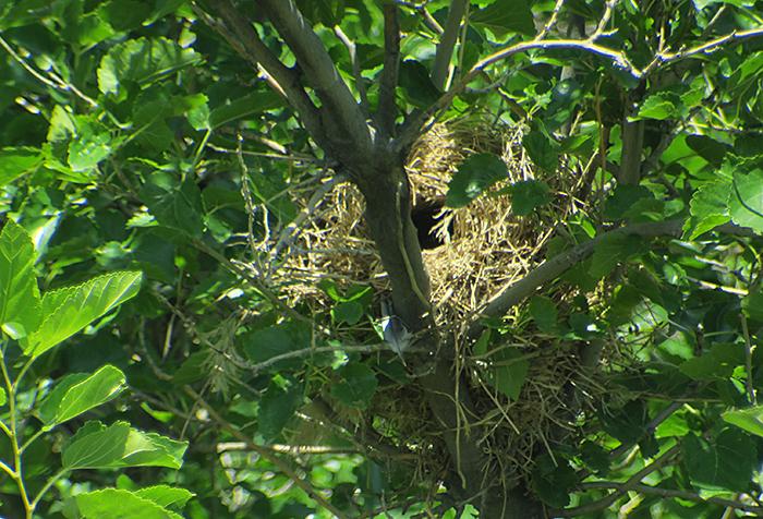 30_weidensperling-nest_nachtschiwan_2018-06-07_9498