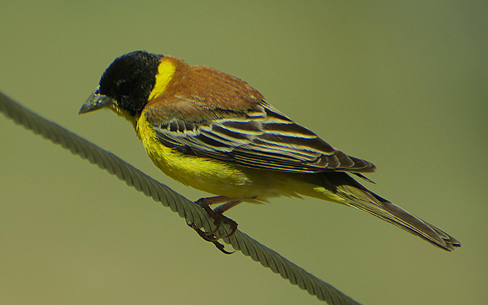 31_kappenammer_black-headed-bunting_nachtschiwan_aserbaidschan_2018-06-08_0027