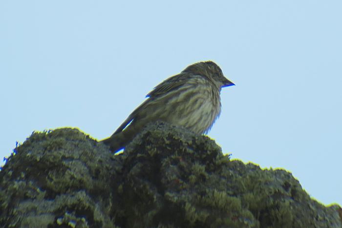 31_steinsperling_common-rock-sparrow_talyschgebirge_2018-06-04_8176