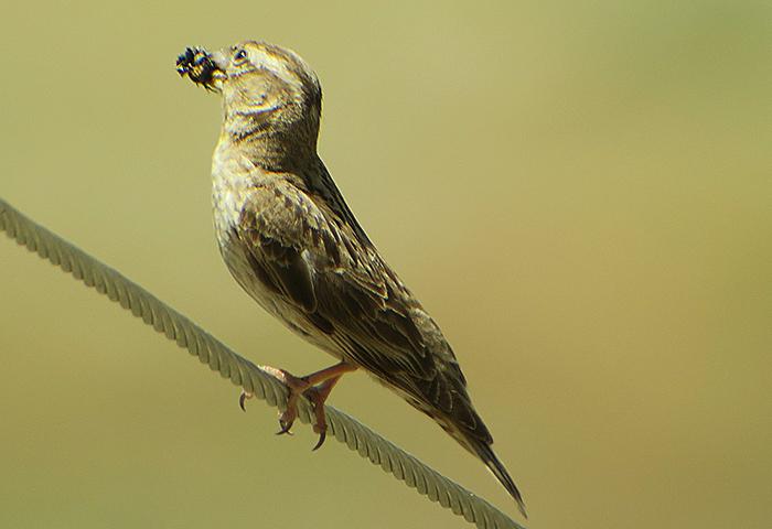 33_steinsperling_common-rock-sparrow_nachtschiwan_aserbaidschan_2018-06-08_0114