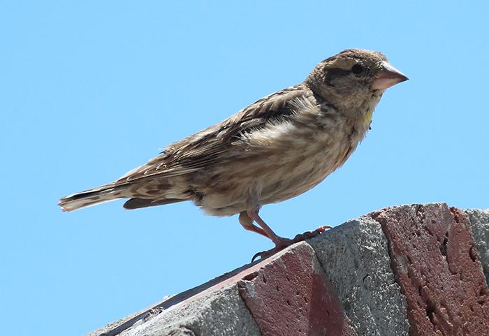 34_steinsperling_common-rock-sparrow_nachtschiwan_2018_06_08_107-markus-daehne